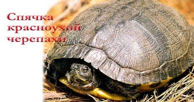 спячка красноухой черепахи