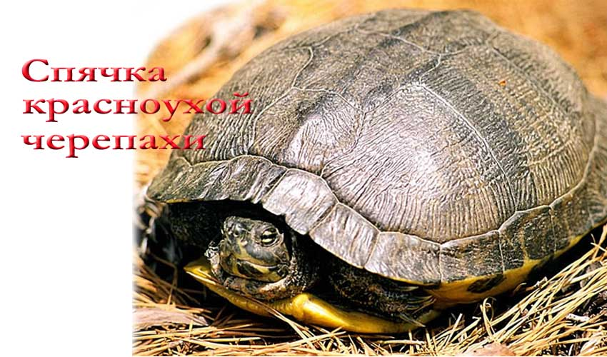 Спячка красноухих черепах в домашних условиях