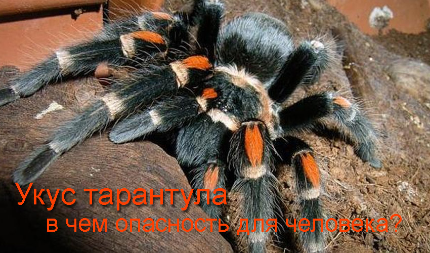 Укус тарантула (опасно ли нападение тарантула на человека)