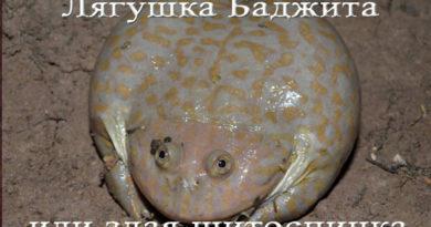лягушка баджита