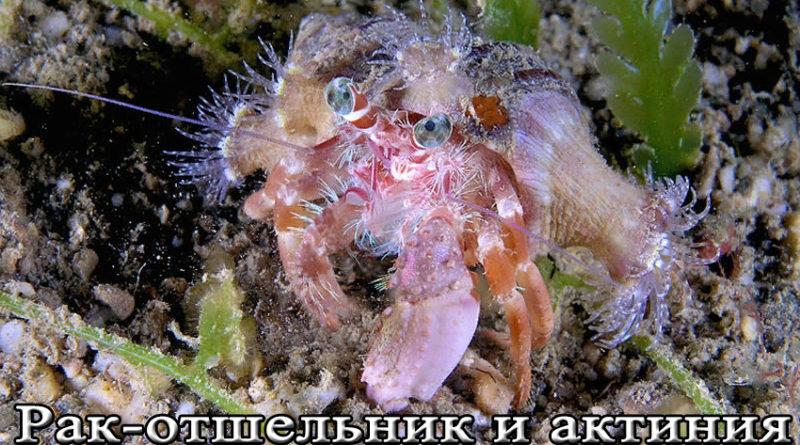 рак-отшельник и актиния