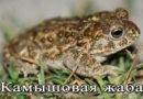камышовая жаба