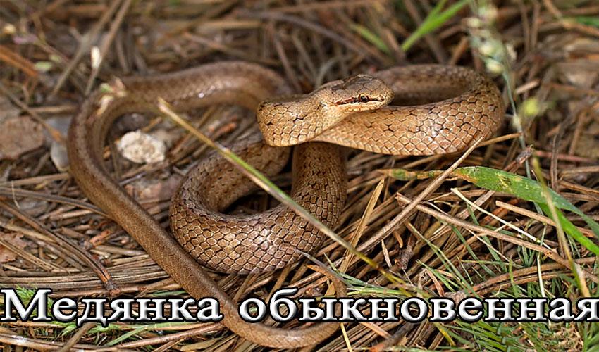 Медянка змея опасна ли для человека