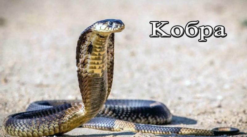 змея кобра