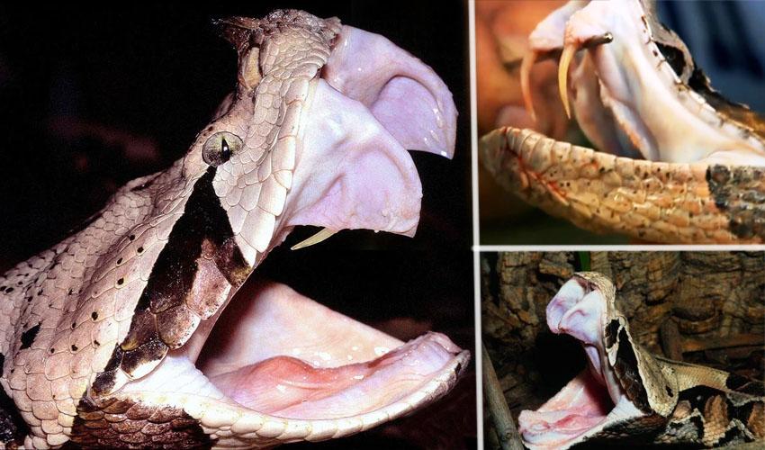 зубы габонской гадюки
