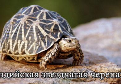 индийская звездчатая черепаха