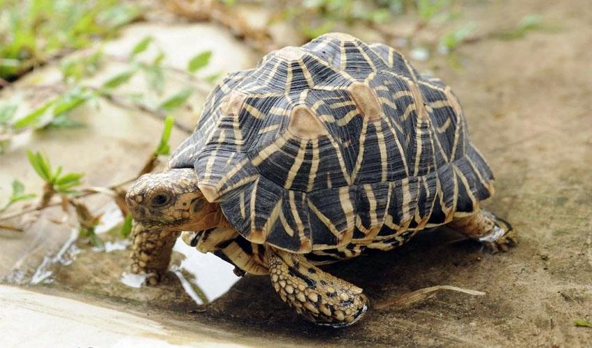 звездчатая черепаха в неволе