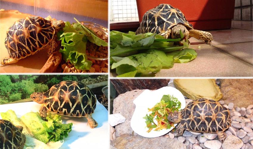 питание звездчатой черепахи