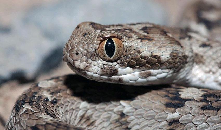 змея эфа описание