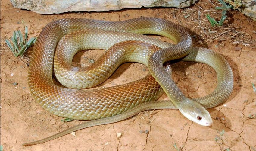змея тайпан фото